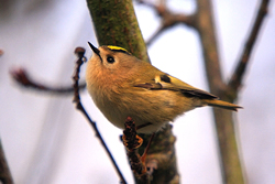 Goldcrest photographed at Saumarez Park [SAU] on 3/12/2008. Photo: © Chris Bale