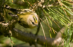 Goldcrest photographed at Saumarez Park [SAU] on 0/12/2008. Photo: © Phil Alexander