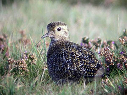 Golden Plover photographed at Pleinmont [PLE] on 6/10/2007. Photo: © Mark Guppy