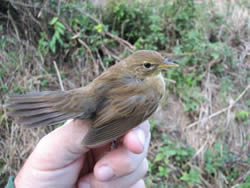 Grasshopper Warbler photographed at Claire Mare [CLA] on 0/8/2006. Photo: © Jamie Hooper