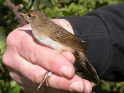 Grasshopper Warbler photographed at Ty Coed on 0/4/2005. Photo: © Paul Veron