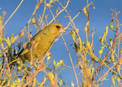 Greenfinch photographed at Bas Capelles [BAS] on 0/8/2007. Photo: © Rod Ferbrache