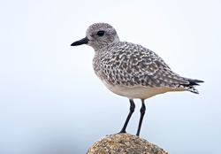 Grey Plover photographed at Cobo [COB] on 8/11/2008. Photo: © Paul Hillion