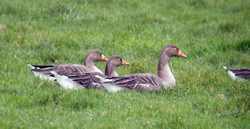 Greylag Goose photographed at Longue Rocque on 8/1/2009. Photo: © Mark Lawlor