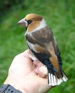 Hawfinch photographed at Pleinmont [PLE] on 14/10/2005. Photo: © Bob Murphy
