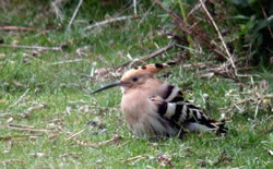 Hoopoe photographed at Fort Doyle [DOY] on 18/4/2009. Photo: © Mark Lawlor
