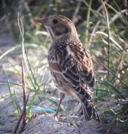 Lapland Bunting photographed at Pulias [PUL] on 11/10/2008. Photo: © Mark Guppy