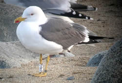 Lesser Black-backed Gull photographed at Chouet [CHO] on 0/4/2009. Photo: © Paul Veron