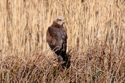Marsh Harrier photographed at Claire Mare [CLA] on 11/2/2009. Photo: © Chris Bale