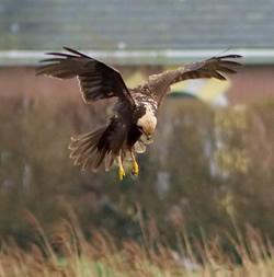 Marsh Harrier photographed at Claire Mare [CLA] on 0/2/2007. Photo: © Colin Radford