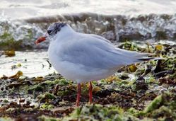 Mediterranean Gull photographed at Grandes Havres [GHA] on 9/7/2009. Photo: © Phil Alexander