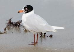 Mediterranean Gull photographed at Cobo [COB] on 1/3/2009. Photo: © Phil Alexander