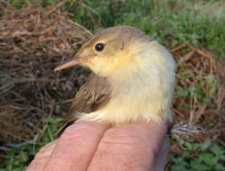 Melodious Warbler photographed at Claire Mare [CLA] on 0/8/2004. Photo: © Jamie Hooper