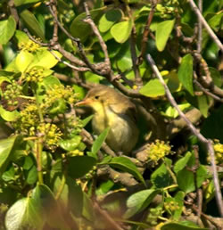 Melodious Warbler photographed at L'Eree [LER] on 0/9/2006. Photo: © Bob Murphy