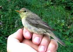 Melodious Warbler photographed at Pleinmont [PLE] on 21/9/2007. Photo: © Jamie Hooper