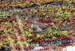 Pectoral Sandpiper photographed at L'Eree [LER] on 14/9/2006. Photo: © Vic Froome