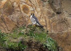 Peregrine photographed at undisclosed on 0/0/2008. Photo: © Vic Froome
