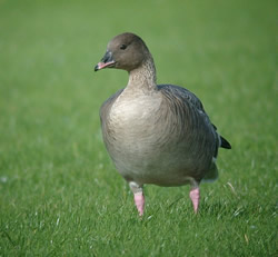 Pink-footed Goose photographed at Miellette [MIE] on 21/10/2006. Photo: © Mark Lawlor
