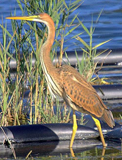 Purple Heron photographed at Reservoir [RES] on 30/7/2006. Photo: © Bob Murphy