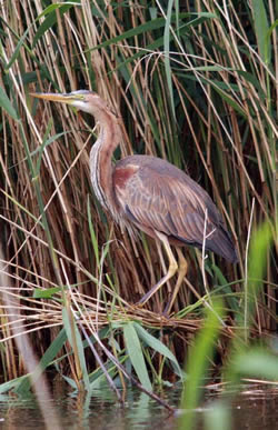 Purple Heron photographed at Grands Marais/Pr� [PRE] on 15/5/2009. Photo: © Mike Cunningham