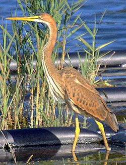 Purple Heron photographed at Reservoir on 30/7/2006. Photo: © R J Murphy