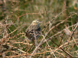 Richard's Pipit photographed at L'Ancresse [LAN] on 20/4/2007. Photo: © Mark Lawlor
