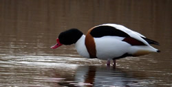 Shelduck photographed at Claire Mare [CLA] on 13/3/2005. Photo: © Mark Lawlor