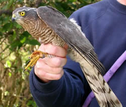 Sparrowhawk photographed at Ty Coed on 17/11/2005. Photo: © Paul Veron
