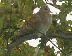 Turtle Dove photographed at Bas Capelles [BAS] on 0/10/2004. Photo: © Rod Ferbrache
