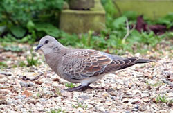 Turtle Dove photographed at Le Menage on 0/9/2008. Photo: © Dee Langmead