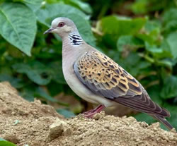 Turtle Dove photographed at Les Vicheris [VI3] on 13/6/2009. Photo: © Carolyn Brouard