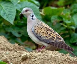 Turtle Dove photographed at Les Vicheris [VI3] on 13/6/2009. Photo: © C Brouard
