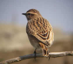 Whinchat photographed at Fort Doyle [DOY] on 0/8/2007. Photo: © Mark Guppy