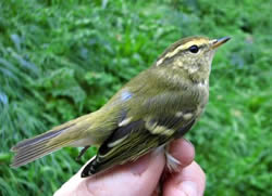 Yellow-browed Warbler photographed at Pleinmont [PLE] on 6/10/2008. Photo: © Jamie Hooper