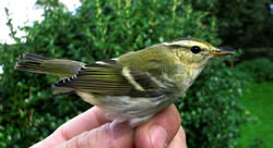 Yellow-browed Warbler photographed at Pleinmont [PLE] on 20/10/2006. Photo: © Jamie Hooper
