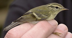 Yellow-browed Warbler photographed at Ty Coed on 0/11/2005. Photo: © Paul Veron