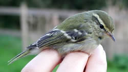Yellow-browed Warbler photographed at Ty Coed on 0/10/2006. Photo: © Paul Veron