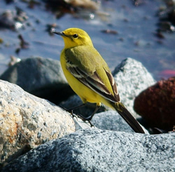 Yellow Wagtail photographed at Vazon [VAZ] on 11/4/2007. Photo: © Mark Lawlor