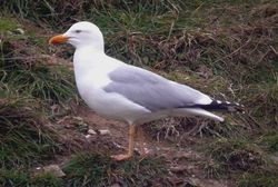 Yellow-legged Gull photographed at Mont Cuet on 2/4/2009. Photo: © Paul Veron