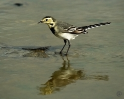 Pied Wagtail photographed at Jaonneuse Bay on 9/10/2006. Photo: © Barry Wells