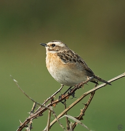 Whinchat photographed at Pleinmont on 30/4/2005. Photo: © Barry Wells