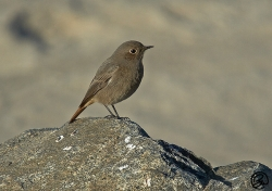 Black Redstart photographed at Grandes Rocques on 20/11/2005. Photo: © Barry Wells