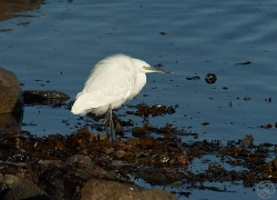 Little Egret photographed at Grande Havre on 21/11/2005. Photo: © Barry Wells