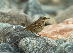 Rock Pipit photographed at Pulias headland on 26/11/2005. Photo: © Barry Wells