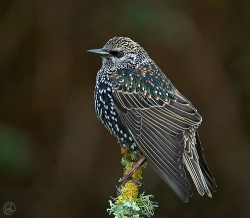 Starling photographed at Les Caches on 14/1/2006. Photo: © Barry Wells