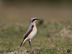 Wheatear photographed at Fort le Marchant on 27/3/2007. Photo: © Barry Wells