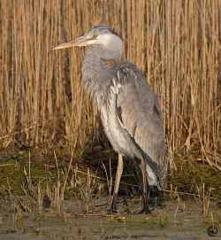 Grey Heron photographed at Rue des Bergers NR on 6/4/2007. Photo: © Barry Wells