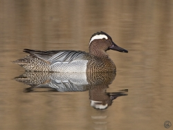 Garganey photographed at Rue des Bergers NR on 6/4/2007. Photo: © Barry Wells