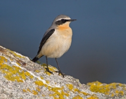 Wheatear photographed at Fort Saumarez on 6/4/2007. Photo: © Barry Wells