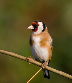 Goldfinch photographed at Les Caches on 26/11/2006. Photo: © Barry Wells